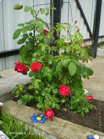Розы как они прекрасны фото 5