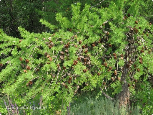У многих видела деревья из шишек, очень красивые вот и решила себе тоже сделать, а тут в лес пошли и нашли шишечки другие не сосновые, наверное лиственница это была. Шишки легкие и клеятся легко фото 4