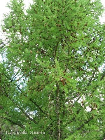 У многих видела деревья из шишек, очень красивые вот и решила себе тоже сделать, а тут в лес пошли и нашли шишечки другие не сосновые, наверное лиственница это была. Шишки легкие и клеятся легко фото 3