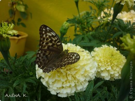 Иногда чудеса случаются просто так и совсем рядом. Махаон - одна из самых красивых бабочек. Она же - самая осторожная и неуловимая. Но... махаон, залетевший ко мне в сад, вел себя, как ручной зверек: садилась на руку, позволяла пересаживать себя с цветка на цветок, пролетала не больше метра... фото 5