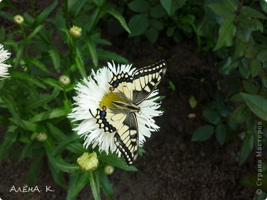 Иногда чудеса случаются просто так и совсем рядом. Махаон - одна из самых красивых бабочек. Она же - самая осторожная и неуловимая. Но... махаон, залетевший ко мне в сад, вел себя, как ручной зверек: садилась на руку, позволяла пересаживать себя с цветка на цветок, пролетала не больше метра... фото 3
