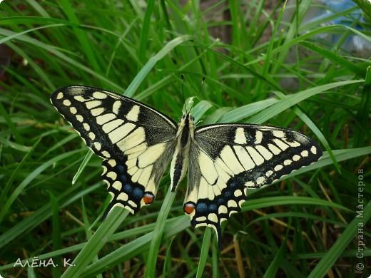 Иногда чудеса случаются просто так и совсем рядом. Махаон - одна из самых красивых бабочек. Она же - самая осторожная и неуловимая. Но... махаон, залетевший ко мне в сад, вел себя, как ручной зверек: садилась на руку, позволяла пересаживать себя с цветка на цветок, пролетала не больше метра... фото 1