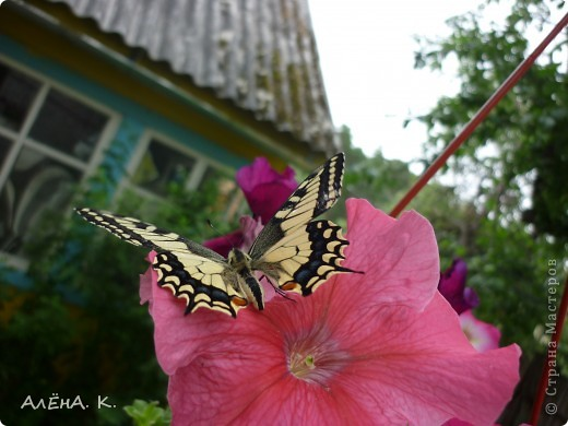 Иногда чудеса случаются просто так и совсем рядом. Махаон - одна из самых красивых бабочек. Она же - самая осторожная и неуловимая. Но... махаон, залетевший ко мне в сад, вел себя, как ручной зверек: садилась на руку, позволяла пересаживать себя с цветка на цветок, пролетала не больше метра... фото 4