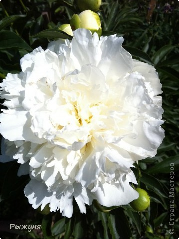 Что может украсить дачу лучше поделок? Конечно, живые цветы, которые цветут, начиная с ранней весны и до поздней осени. Какое разнообразие цвета и великолепных форм демонстрируют нам ирисы! Полюбуйтесь! фото 5