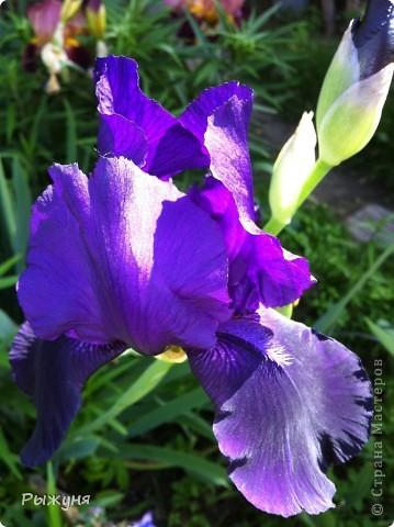 Что может украсить дачу лучше поделок? Конечно, живые цветы, которые цветут, начиная с ранней весны и до поздней осени. Какое разнообразие цвета и великолепных форм демонстрируют нам ирисы! Полюбуйтесь! фото 6