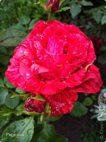 Что может украсить дачу лучше поделок? Конечно, живые цветы, которые цветут, начиная с ранней весны и до поздней осени. Какое разнообразие цвета и великолепных форм демонстрируют нам ирисы! Полюбуйтесь! фото 12