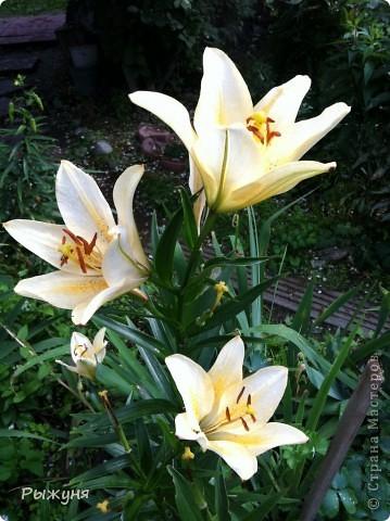Что может украсить дачу лучше поделок? Конечно, живые цветы, которые цветут, начиная с ранней весны и до поздней осени. Какое разнообразие цвета и великолепных форм демонстрируют нам ирисы! Полюбуйтесь! фото 22