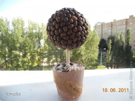 Моё первое кофейное деревце фото 1