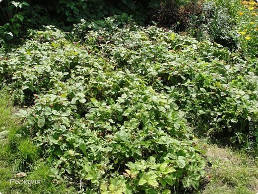 Живет у меня в саду земляника - красная и белая (желтая). Дает урожай до морозов, что позволяет всей семье лакомиться витаминами долгое время. Жаль компьютер не может ягодный аромат передавать... А теперь давай те посмотрим поближе фото 1