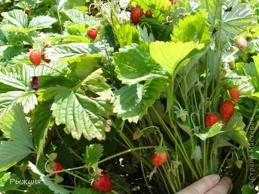 Живет у меня в саду земляника - красная и белая (желтая). Дает урожай до морозов, что позволяет всей семье лакомиться витаминами долгое время. Жаль компьютер не может ягодный аромат передавать... А теперь давай те посмотрим поближе фото 2