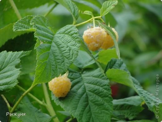 Если знаете все о чае, то такого могу заверить не пробовали :) По утрам я обхожу свой участок и собираю разные листочки для моего садового чая. Первые - это листы малины желтой. Вот такая она у меня. фото 2