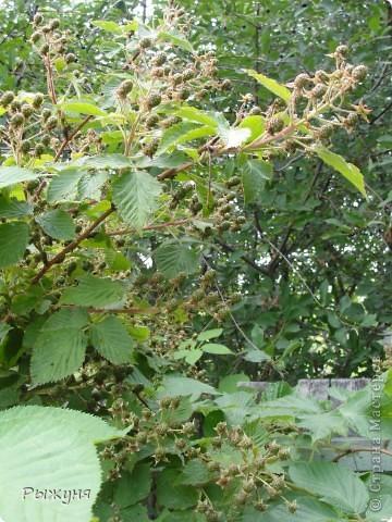 Если знаете все о чае, то такого могу заверить не пробовали :) По утрам я обхожу свой участок и собираю разные листочки для моего садового чая. Первые - это листы малины желтой. Вот такая она у меня. фото 8