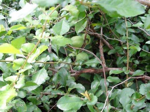Если знаете все о чае, то такого могу заверить не пробовали :) По утрам я обхожу свой участок и собираю разные листочки для моего садового чая. Первые - это листы малины желтой. Вот такая она у меня. фото 12