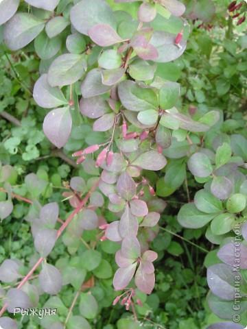 Если знаете все о чае, то такого могу заверить не пробовали :) По утрам я обхожу свой участок и собираю разные листочки для моего садового чая. Первые - это листы малины желтой. Вот такая она у меня. фото 16