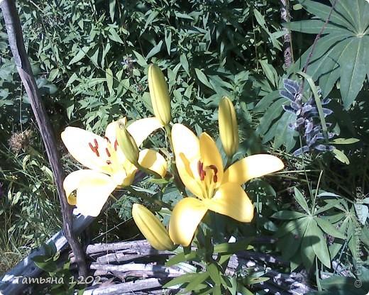 Лето,розы отцветают зато лилии цветут прекрасными красками. фото 4