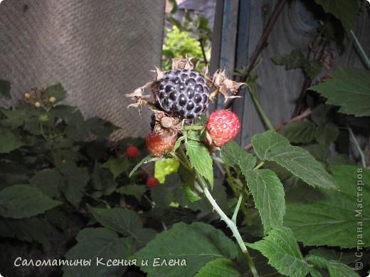 """Вот такая малинка растет в нашем саду """"Черная малина""""    мы ее так называем, а на самом деле это сорт черноплодной малины кумберленд,  можно про нее почитать по этой ссылке. http://www.fazenda-online.ru/garden/136-chernaya-malina.html фото 3"""