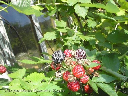 """Вот такая малинка растет в нашем саду """"Черная малина""""    мы ее так называем, а на самом деле это сорт черноплодной малины кумберленд,  можно про нее почитать по этой ссылке. http://www.fazenda-online.ru/garden/136-chernaya-malina.html фото 4"""
