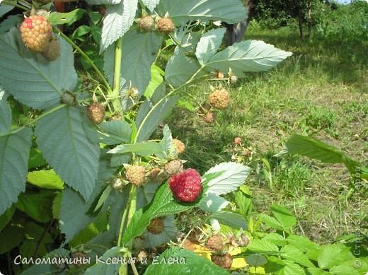 """Вот такая малинка растет в нашем саду """"Черная малина""""    мы ее так называем, а на самом деле это сорт черноплодной малины кумберленд,  можно про нее почитать по этой ссылке. http://www.fazenda-online.ru/garden/136-chernaya-malina.html фото 10"""