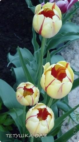 Мои весенние цветы. Игольчатый тюльпан  фото 2