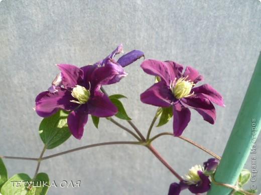 Мои весенние цветы. Игольчатый тюльпан  фото 4