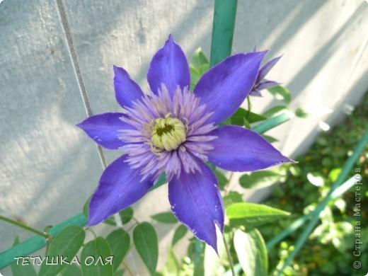 Мои весенние цветы. Игольчатый тюльпан  фото 6