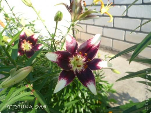 Мои весенние цветы. Игольчатый тюльпан  фото 10