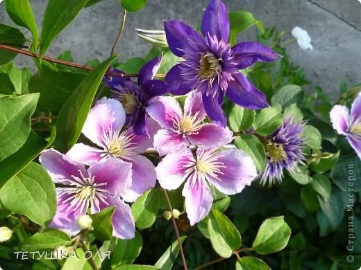 Мои весенние цветы. Игольчатый тюльпан  фото 5