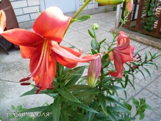 Мои весенние цветы. Игольчатый тюльпан  фото 7