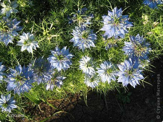 Как-то весной посадил мой отец луговые цветы (семена покупали в магазине). И вот такие чудесные цветы теперь растут в нашем саду. фото 1