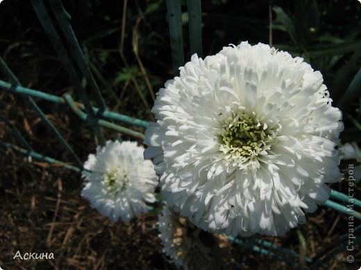Как-то весной посадил мой отец луговые цветы (семена покупали в магазине). И вот такие чудесные цветы теперь растут в нашем саду. фото 12