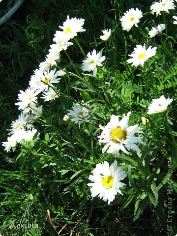 Как-то весной посадил мой отец луговые цветы (семена покупали в магазине). И вот такие чудесные цветы теперь растут в нашем саду. фото 10