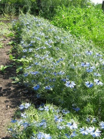 Как-то весной посадил мой отец луговые цветы (семена покупали в магазине). И вот такие чудесные цветы теперь растут в нашем саду. фото 3