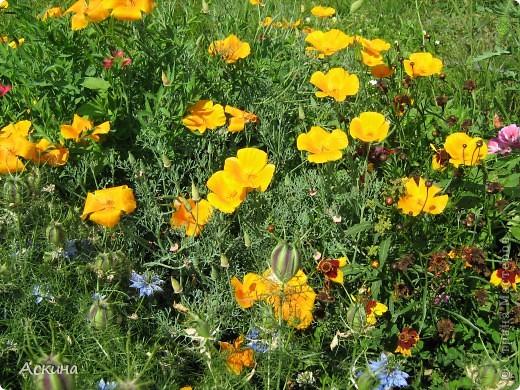 Как-то весной посадил мой отец луговые цветы (семена покупали в магазине). И вот такие чудесные цветы теперь растут в нашем саду. фото 5