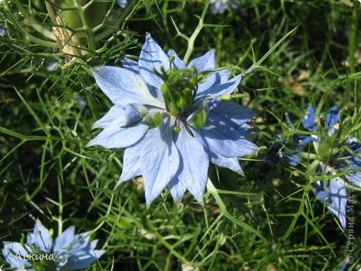 Как-то весной посадил мой отец луговые цветы (семена покупали в магазине). И вот такие чудесные цветы теперь растут в нашем саду. фото 2