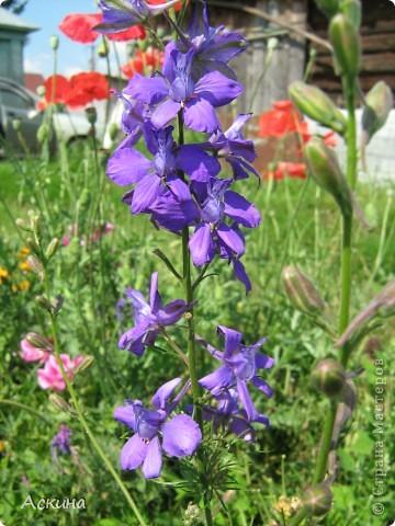 Как-то весной посадил мой отец луговые цветы (семена покупали в магазине). И вот такие чудесные цветы теперь растут в нашем саду. фото 7