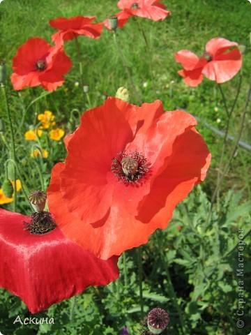 Как-то весной посадил мой отец луговые цветы (семена покупали в магазине). И вот такие чудесные цветы теперь растут в нашем саду. фото 9