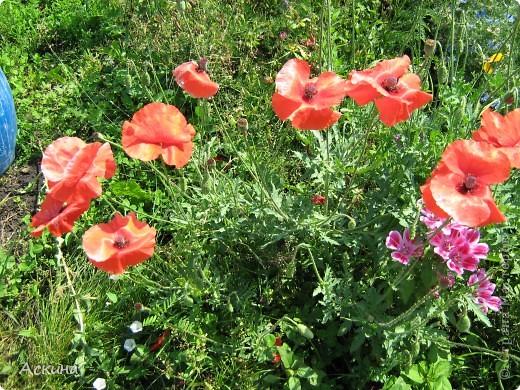 Как-то весной посадил мой отец луговые цветы (семена покупали в магазине). И вот такие чудесные цветы теперь растут в нашем саду. фото 8