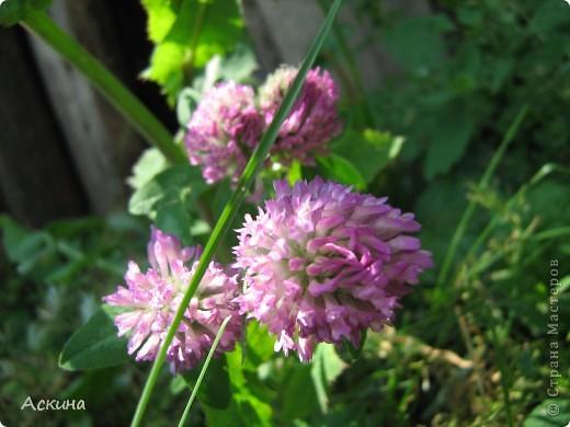 Как-то весной посадил мой отец луговые цветы (семена покупали в магазине). И вот такие чудесные цветы теперь растут в нашем саду. фото 22