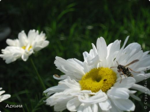 Как-то весной посадил мой отец луговые цветы (семена покупали в магазине). И вот такие чудесные цветы теперь растут в нашем саду. фото 11