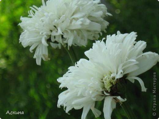 Как-то весной посадил мой отец луговые цветы (семена покупали в магазине). И вот такие чудесные цветы теперь растут в нашем саду. фото 13