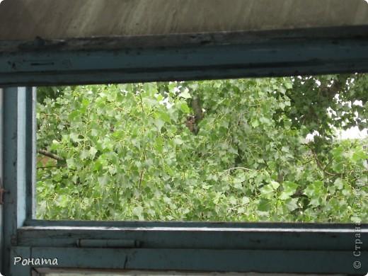 Месяц назад с наступлением сумерек во дворе с деревьев раздался пронзительный писк. Интервалы между криками были одинаковыми, по 7-8 секунд. Это продолжалось очень долго, и около часу ночи я услышала шорох листьев и глухой стук об землю - кто-то не выдержал и бросил чем-то в дерево :)). Писк прекратился и через некоторое время раздался снова, но уже тихо и где-то далеко. Мы долго гадали, чьи же это крики. Повторялись они каждый вечер и по полночи, причем уже в несколько голосов и по всем соседним дворам. Потом друг сына сказал, что это совы. Нашествие сов! Точнее, налёт сов на город! И однажды вдруг средь бела дня мы снова услышали писк и разглядели на дереве... сову! Чего-то не спится ей :)) Быстро фотик в руки и на охоту! Это с балкона (5-й этаж) снимала:  фото 2