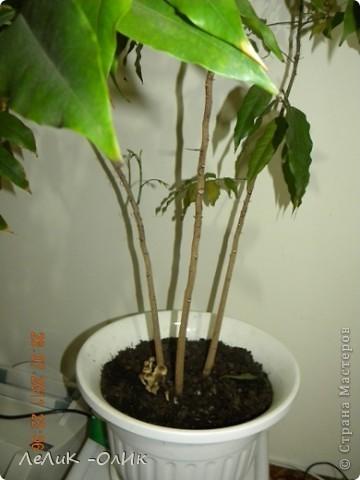 В комнатном цветке выросли грибы!!! Грунт был покупной, цветок куплен в ИКЕЕ. Я не знаю как поступить! Пересадить, выбросить, убрать грибы!? Не знаю как быть и что делать! фото 1