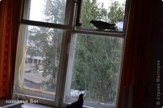 голубь очень красивая птица фото 10