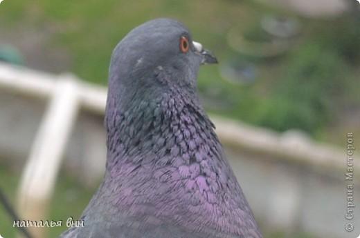 голубь очень красивая птица фото 1