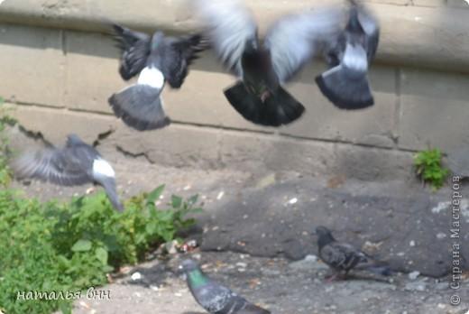 голубь очень красивая птица фото 5