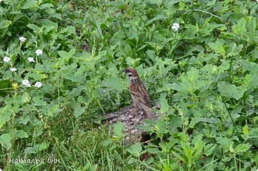 голубь очень красивая птица фото 13