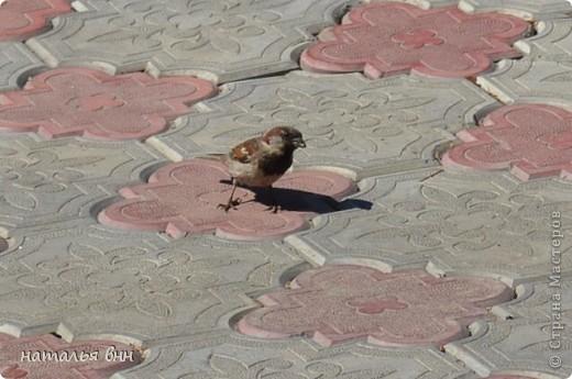 голубь очень красивая птица фото 8