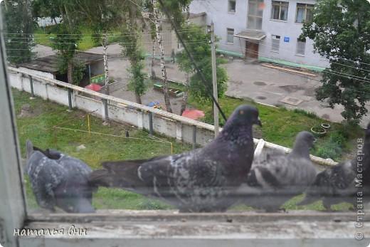 голубь очень красивая птица фото 7
