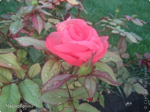 Розы фото 6