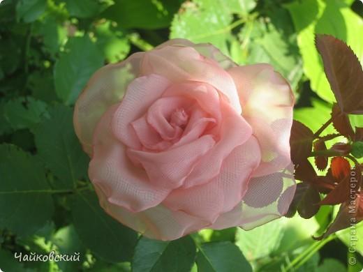 Розы фото 9